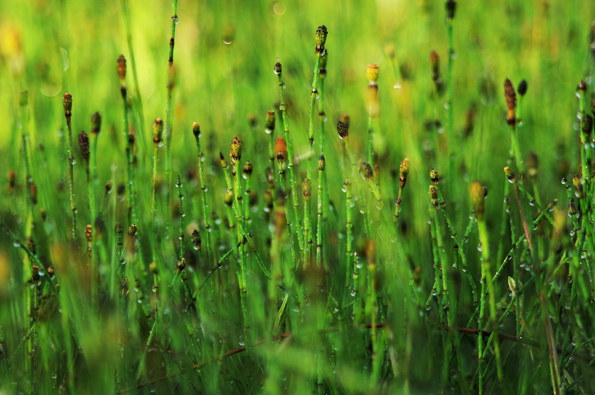 Equisetum variegatum - Wikispecies