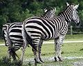 Equus quagga boehmi 1zz.jpg