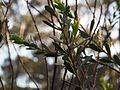 Eremophila compressa (leaves).jpg