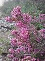 Erica manipuliflora 70655139.jpg