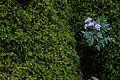 Erigenia bulbosa FWS 17518.jpg