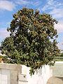 Eriobotrya japonica B.jpg