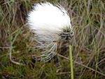 Eriophorum vaginatum close.jpg