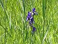 Eriskircher Ried Irisblüte 98.jpg