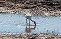 Espátula africana (Platalea alba), parque nacional de Chobe, Botsuana, 2018-07-28, DD 39.jpg