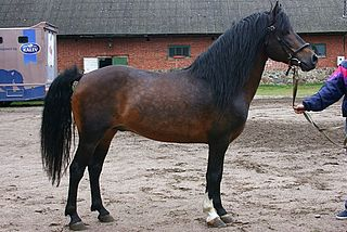 Estonian Native Estonian breed of horse