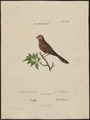 Estrilda astrild - 1700-1880 - Print - Iconographia Zoologica - Special Collections University of Amsterdam - UBA01 IZ15900121.tif