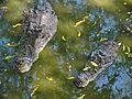 Estuarine Crocodiles (Crocodylus porosus) (7136155567).jpg