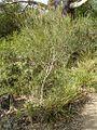 Eucalyptus angustissima1.jpg