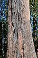 Eucalyptus obliqua.jpg