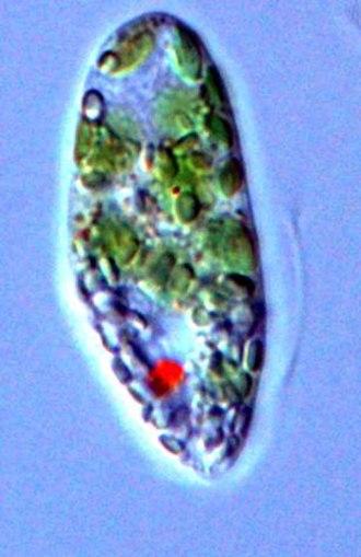 Euglenid - Image: Euglena.gracilis
