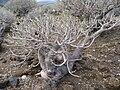 Euphorbia balsamifera Malpais2007 05 barranquillo 58.jpg