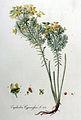 Euphorbia cyparissias — Flora Batava — Volume v9.jpg