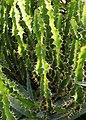 Euphorbia grandialata Wilczomlecz 2014-10-12 01.jpg