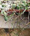 Euphorbia stapeliodes - RSA 6.jpg