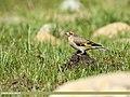 European Goldfinch (Carduelis carduelis) (35165789315).jpg