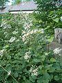 Eurybia macrophylla Aster macrophyllus BotGardBln07122011C.JPG