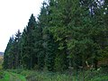 Evergreen trees, Erlestoke Park Woods, Erlestoke - geograph.org.uk - 729294.jpg