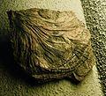Extracrinus briareus Lyme Regis Naturalis.JPG