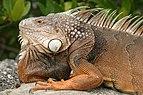 FL Iguana.jpg