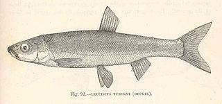 <i>Telestes turskyi</i> Species of fish