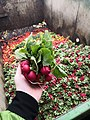 FRESH CROP WASTED - RADISH.jpg