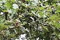 Fagales - Quercus robur - 4.jpg