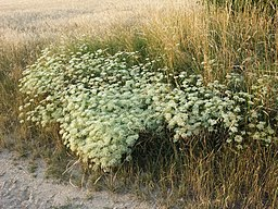 Falcaria vulgaris sl8