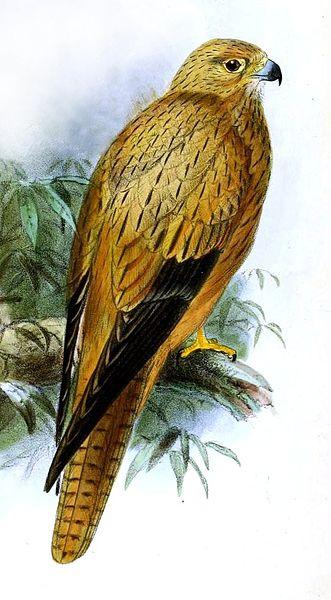 File:Falco alcopex.jpg