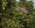 Falco biarmicus dive.jpg