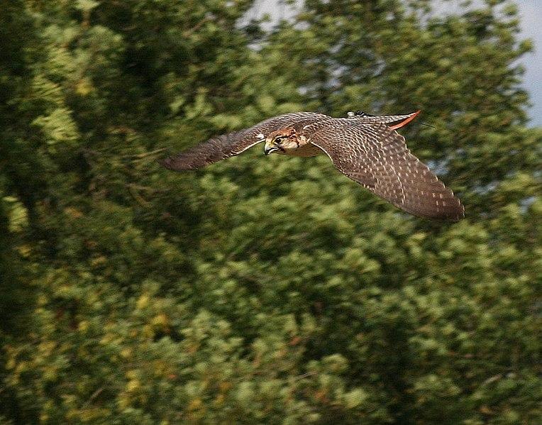 File:Falco biarmicus dive.jpg