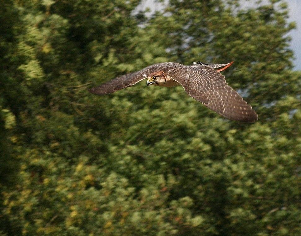 Falco biarmicus dive