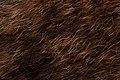 Falkland Island wolf Dusicyon australis fur OMNZVT2369 !3pub.jpg