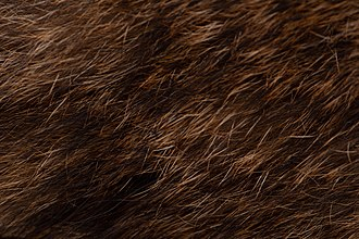 Falkland Islands wolf - The Falkland Island wolf was hunted for its fur.