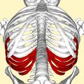 False ribs below.png