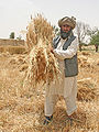 Farmer in Pakistan.jpg