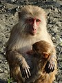 Female Monkey and Baby - Sundarbans Tiger Reserve - South of Kolkata - India (12355735005).jpg