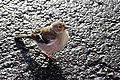 Female chaffinch 3.jpg