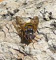 Ferdinandea cuprea. - Flickr - gailhampshire (1).jpg