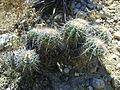 Ferocactus flavovirens (5753693981).jpg