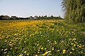 Field of dandelions, Fordham - geograph.org.uk - 1273944.jpg