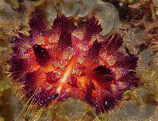Echinothurioida Order of sea urchins