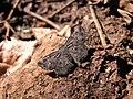 Flat species Chikmagalur.jpg