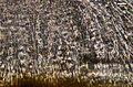 Flavoplaca marina 646628.jpg