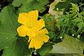 Fleur jaune concombre arménien.JPG