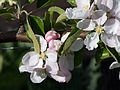 Fleurs de pommier 'D'Arcy spice'.jpg