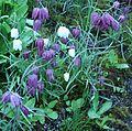 Flickr - brewbooks - Fritillaria meleagris at Streissguth Gardens - Seattle.jpg