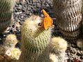 Flickr - brewbooks - Gulf Fritillary (Agraulis vanillae) butterfly on Notocactus leninghausii cactus.jpg