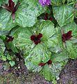 Flickr - brewbooks - Trillium chloropetalum 'Volcano' at Streissguth Gardens - Seattle (4).jpg