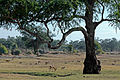 Flickr - ggallice - Impala, baboon herd.jpg
